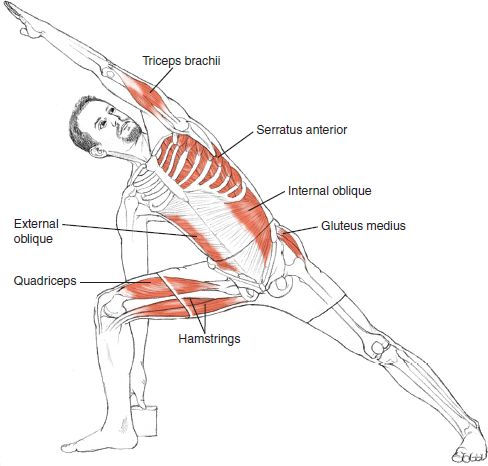 Utthita Parsvakonasana Leslie Kaminoff Yoga Anatomy Illustrated by Sharon Ellis.